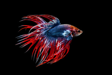 Fighting fish thai on a black background.
