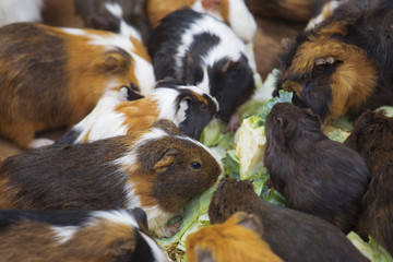 many guinea pigs cabbage dinner