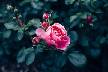 Pink rose with dark green leaves growing in rose garden
