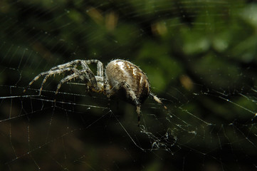 The european garden spider (Araneus diadematus) sitting in the spider net with dark background