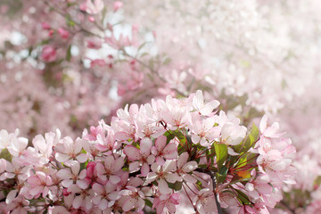 cherry flowers extraordinary beauty/Spring background with pink flowers blooming fruit trees