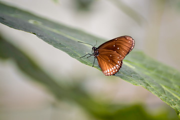 Common Crow Butterfly (Euploea core)