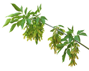 A branch of maple seeds and leaves, isolated