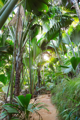 Footpath in palm forest. Vallee de Mai Nature Reserve ( May Valley),  island of Praslin, Seychelles