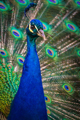 Peacock (Indian peafowl)