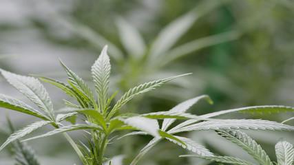 Background Texture of Marijuana Plants at Indoor Cannabis Farm