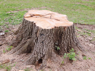 Stump of a freshly cut tree