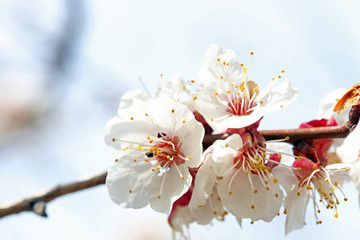 Blooming branches of fruit tree