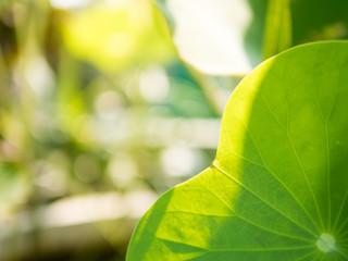 close-up lotus leaf