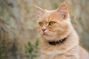 ginger persian cat outdoor portrait