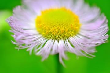 ハルジオンの花言葉や由来・ハルジオンの英語での花言葉