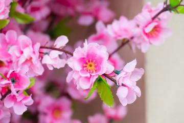 Sakura flowers blooming blossom in Chiang Mai, Thailand