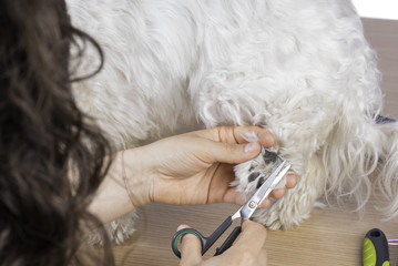 Cutting hair to Maltese bichon.
