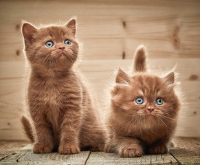 two brown british kittens