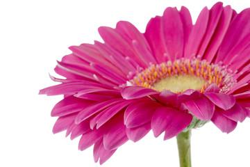 Poster Gerbera pink gerbera daisy
