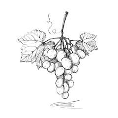 Grapes. Graphics. Illustration. Vector.
