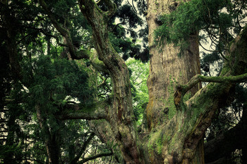 Trunk of old cedar