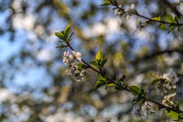 Весенний пейзаж, вишня цветет