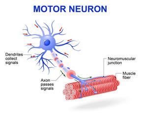 Motor neuron. Vector diagram