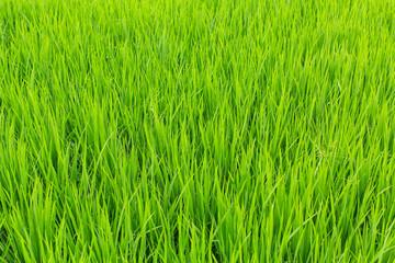A green field of tall grass.