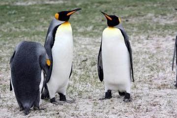Königspinguine- Volunteer Point-Falklandinseln