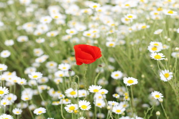 Daisy flower and red poppy background