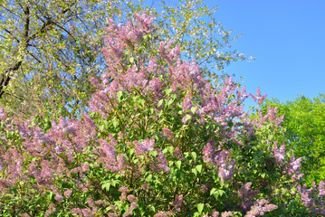 Beautiful lilac flowers.
