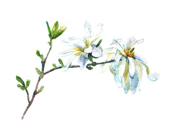 blooming magnolia, isolated watercolor painting