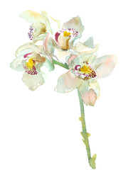 orchid branch, isolated watercolor painting