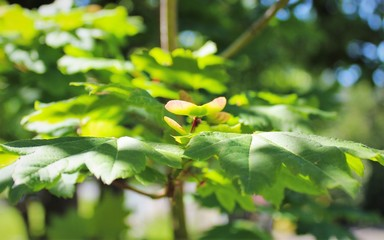 Vine maple seeds