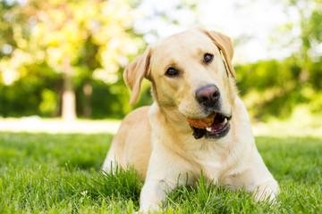 Yellow Labrador dog in the park