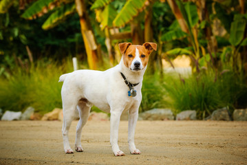 Jack Russell Terrier standing in front of tropical garden