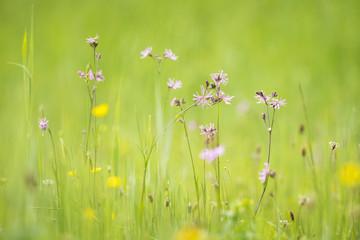 Ragged-Robin flowers, Lychnis flos-cuculi