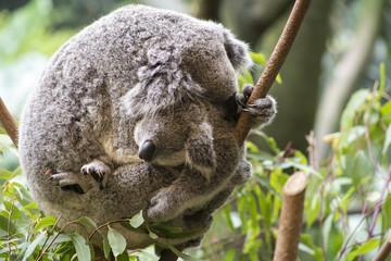 Canvas Prints Mother and joey koala cuddling