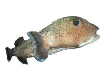 Porcupine fish isolated white backgound