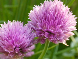 Chive detail photo