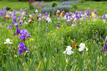 iris flowers in the flowerbed