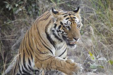 A Male Bengal Tiger marking his territory.Image taken during a tiger safari at Bandhavgarh national park in the state of Madhya Pradesh in India.Scientific name- Panthera Tigris