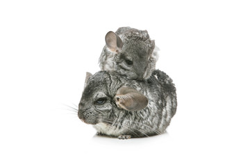 Two chinchillas isolated over white background