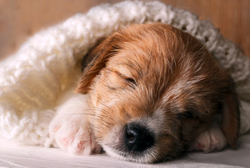 Cute puppy dog sleeping sweet and covered with soft knitted cloth