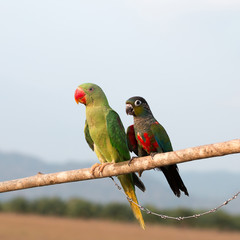 Parrot on a perch on wooden