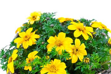 yellow flowers Goldmarie or Bidens ferulifolia or Bidens Goldilo