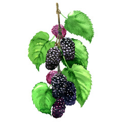 Fresh fruit black mulberry with leaves isolated, watercolor illustration