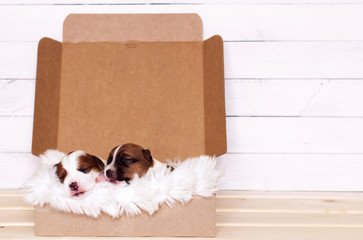 Two cute Jack Russell Terrier puppies sleeping in a gift box