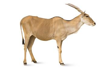 isolated antelope on white