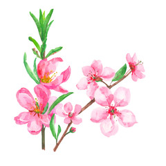 set of pink flowers and buds, spring blossoms isolated, watercolor painting