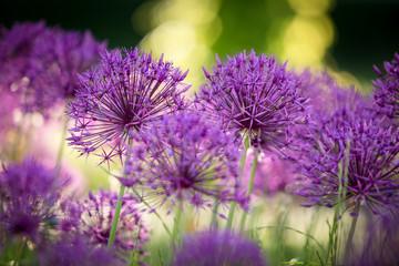 Allium am Morgen