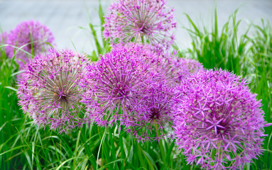 Pink Allium flowers closeup