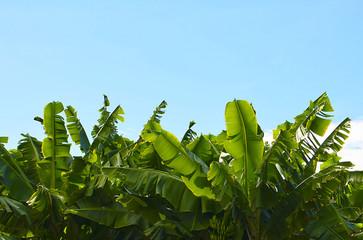 Canarian Banana plantation in Tenerife, Canary Islands,Spain.