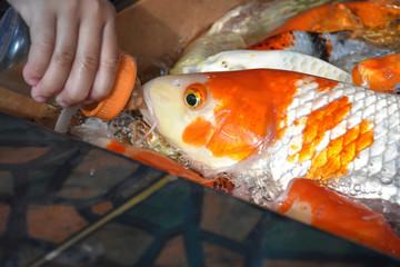 feed Koi carp
